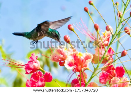 A female Blue-chinned Sapphire hummingbird feeding on the Pride of Barbados flowers with the blue sky as a back drop. Foto stock ©