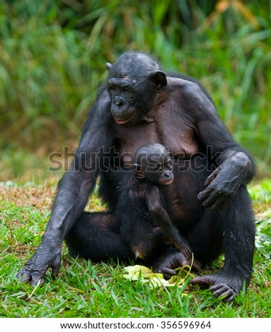 A female bonobo with a baby. Democratic Republic of Congo. Lola Ya BONOBO National Park. An excellent illustration. #356596964