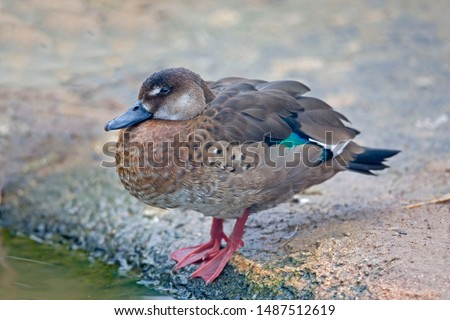 A Female Brazilian Teal or Brazilian Duck, Amazonetta brasiliensis swimming