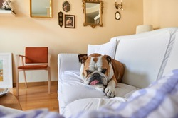 a female bulldog rests almost sleeping on the sofa at home with her tongue hanging out commonly