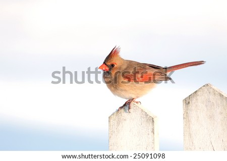 A female cardinal is perched on a white picket fence following a snowstorm.