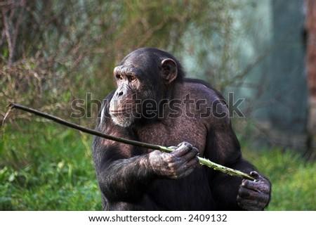 A female chimpanzee holding a stick
