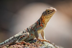A female Collared Lizard (Crotaphytus collaris) or Mountain Boomer resting on a rock in the Wichita Mountains National Wildlife Refuge in Cache, OK, USA.