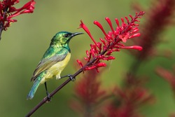 A female Collared sunbird (Hedydipna collaris) perched on a red flower