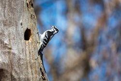 A female downy woodpecker on a tree in a trail in Mississauga, Canada