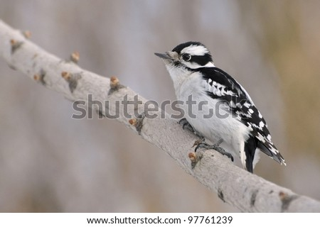 A female downy woodpecker perched on a branch.