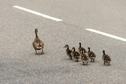 A female duck with her chicks walking on a public road.
