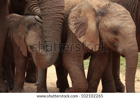 A female elephant mother protects her baby calf as they walk past during a sighting in Addo elephant national park,eastern cape,south africa