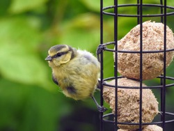 A female Eurasian Blue Tit (Cyanistes Caeruleus) clinging to a hanging bird feeder filled with fat balls