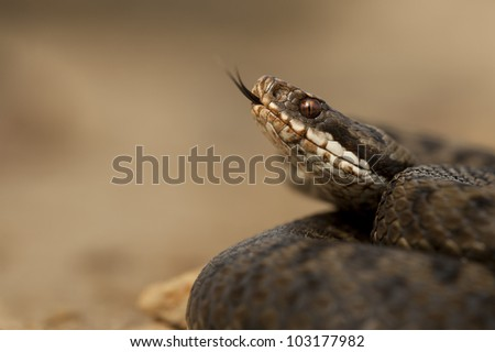 A female European Adder (Vipera berus) flicking her tongue to taste the air, set against a smooth light brown background.