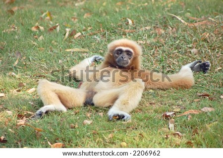 A female gibbon relaxing on the grass
