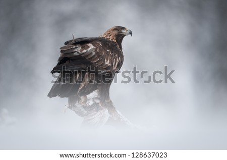 A female Golden Eagle in the wilderness of the Norwegian mountain winter.  Perched on a fallen pine, she is about to feed on her Ptarmigan prey.