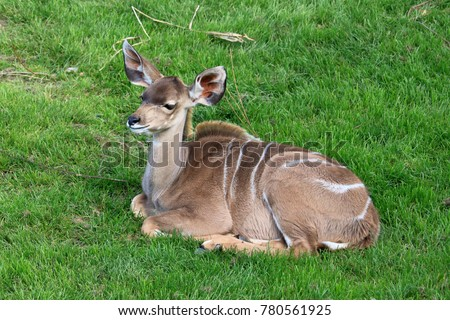 a female greater kudu #780561925