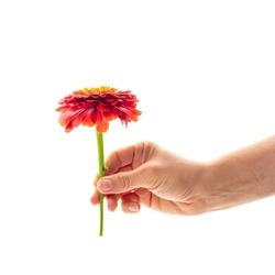 A female hand holding a blossoming zinnia flower isolated on white background. A flower as a gift and symbol of love concept