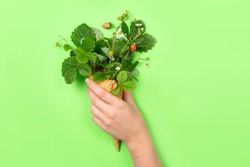 A female hand holds a favela horn with leaves, flowers and strawberries on a green background. Copy space, flat lay. Conceptual photo - healthy, right food, an original gift. Harvest from the garden.