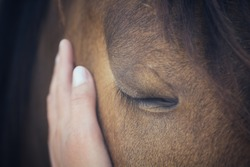 A female hand stroking a brown horse head - Close up portrait of a horse - Eyes shut - Tenderness and caring for animals concept