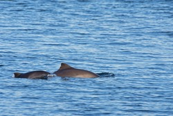 A female harbour porpoise with it's young coming at the surface of the water to breathe.