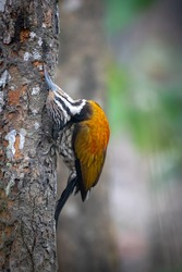 A Female Himalayan Flameback on Tree in the jungle looking for bugs.