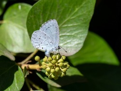 A female holly blue butterfly (Celastrina argiolus) seen laying eggs on an ivy flower head in August