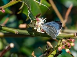 A female holly blue butterfly (Celastrina argiolus) seen nectaring on holly blossom in April