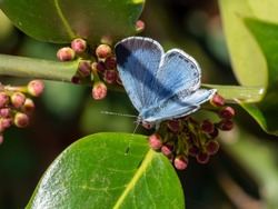 A female holly blue butterfly (Celastrina argiolus) seen on a holly tree in April