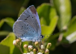 A Female Holly Blue Butterfly resting on some flower buds.