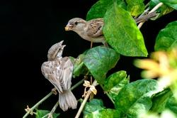 A female house sparrow feeding chick on a plant