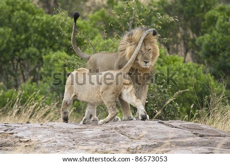 A female in the pride greets the male lion upon his return.