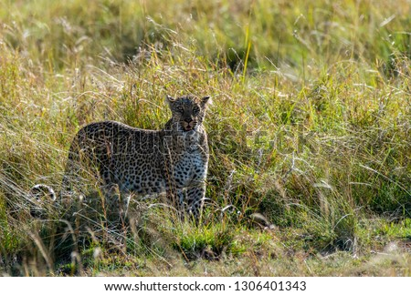 A female leopard standing in the green grasses during a wildlife safari inside Masai Mara National reserve #1306401343