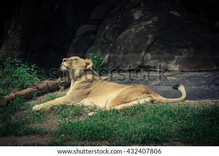 A female lion (lioness) is resting and bathing in Houston Zoo, a 55-acre zoological park in Hermann Park, Houston, Texas, US.It houses over 6K animals, and receives 1.m visitors per year. Vintage look