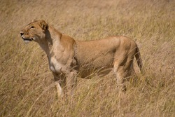 A female lion prepares to hunt a small wildebeest