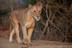 A female Lion seen on a safari in South Africa.