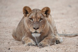 A female lion seen on a safari in South Africa