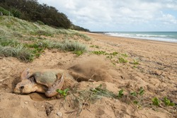 A female Loggerhead Turtle flicking sand over her eggs to bury them after laying over 100 eggs above the high tide level at Mon Repos beach in Australia.