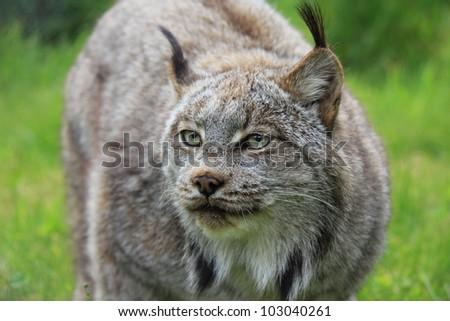 A female lynx