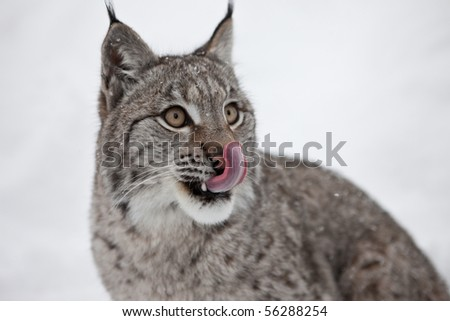 A female Lynx licking its lips - stock photo
