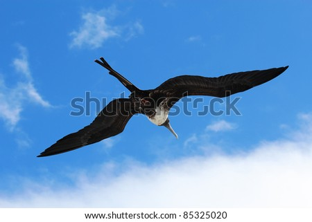 A female magnificent frigatebird (Fregata magnificens) flies overhead off the Galapagos Islands, Ecuador against a blue sky and white clouds