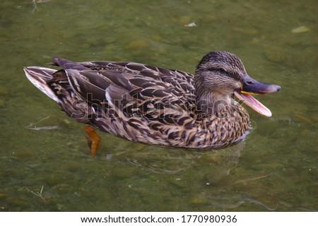 A female mallard duck swimming, her mouth open to quack