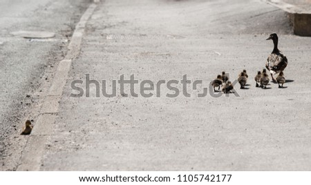 A female Mallard duck with her chicks as one chick is left behind.