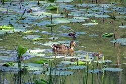 A female mallard duck with her cute ducklings swimming on lake with a lot of freshly growing lotus leaves on water surface, under shadow with sunlight spotting on her in spring in China