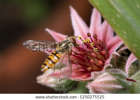 A female marmalade hoverfly (Episyrphus balteatus) sitting on a houseleek flower (Sempervivum)