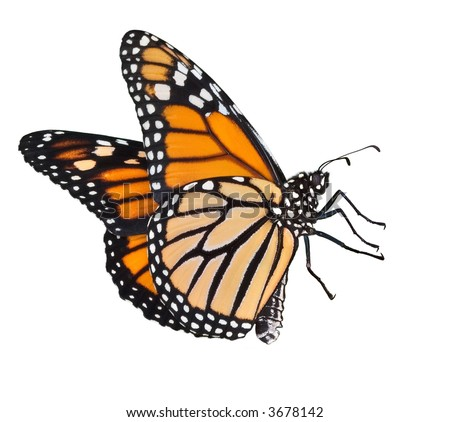 A female monarch is flying.