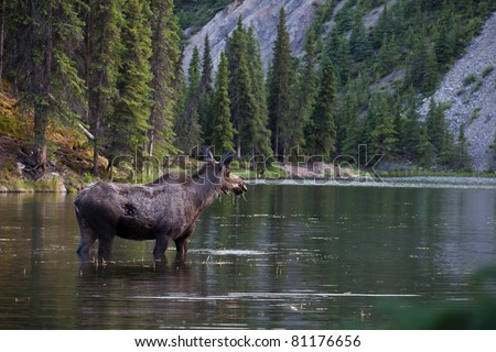 A female moose is eating water grass