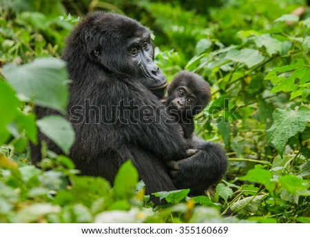 Shutterstock A female mountain gorilla with a baby. Uganda. Bwindi Impenetrable Forest National Park.
