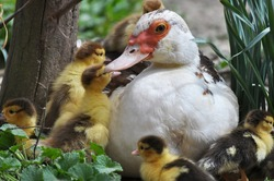 A female muscovy duck  (Cairina moschata) with her two-day brood.