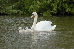 A female Mute Swan (Cygnus olor) and her cygnets swimming on a lake.