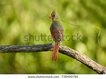 A female Northern Cardinal (Cardinalis cardinalis) with a twig in its beak.  Brazos Bend State Park, Needville, Texas.