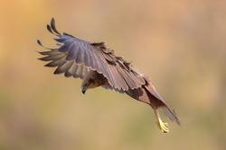 A female of a Western marsh harrier landing on the field.