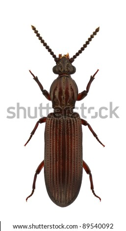 A female of Rhysodes sulcatus, wrinkled bark beetles, isolated on white background