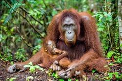 A female of the orangutan with a baby in a natural habitat.  Central Bornean orangutan (Pongo pygmaeus wurmbii) in the wild nature. Wild Tropical Rainforest of Borneo. Indonesia